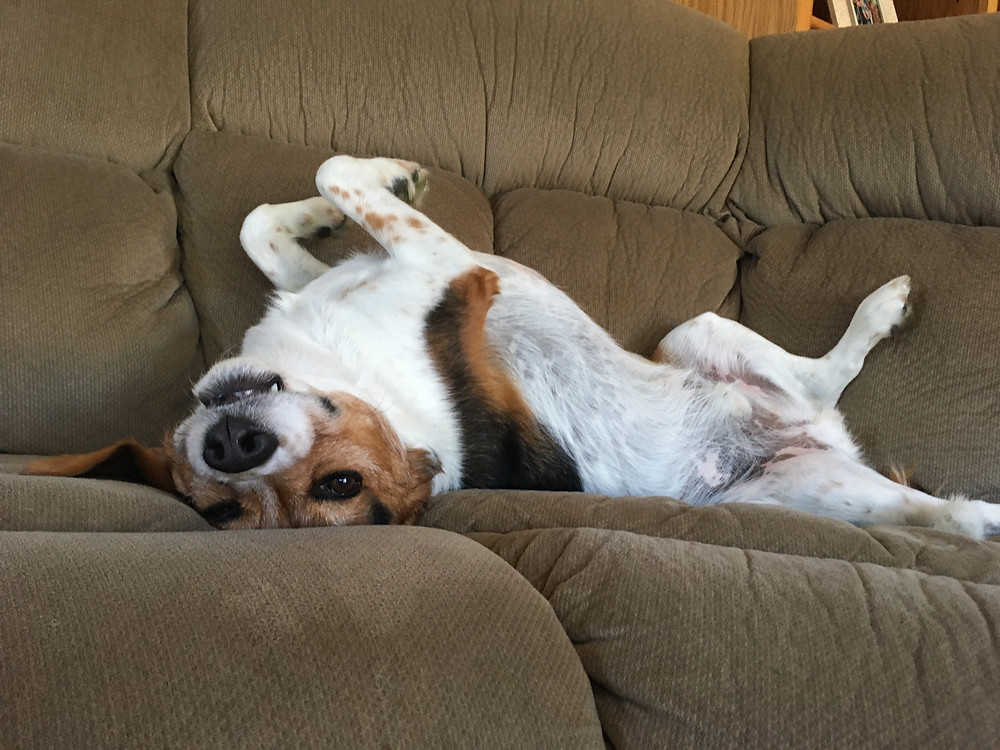 Beagle lying upside down