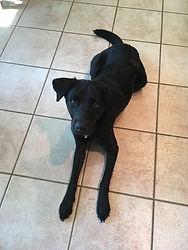 Labrador Retriever Dog Training