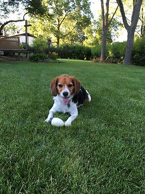 Happy Hound University Beagle