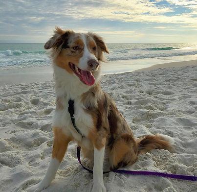 Australian Shepherd Dog Training