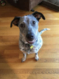 Australian Cattle Dog Dog Training