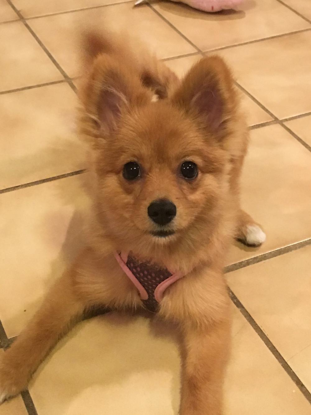 Pomeranian puppy ready for training