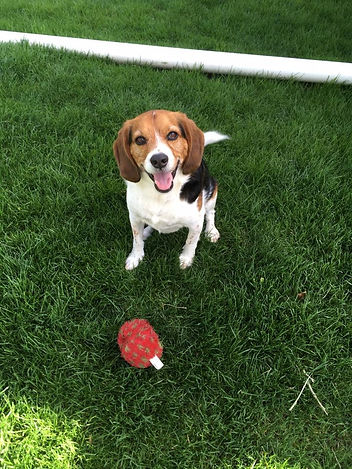 Beagle Dog Training Happy Hound