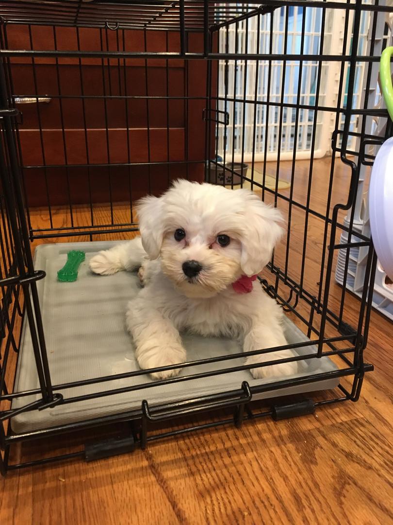 Daisy the Shih-chon puppy