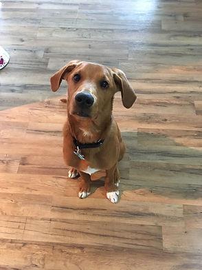Hound Mix Dog Training