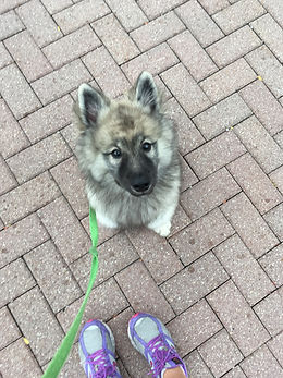Keeshond puppy dog learning to sit in training