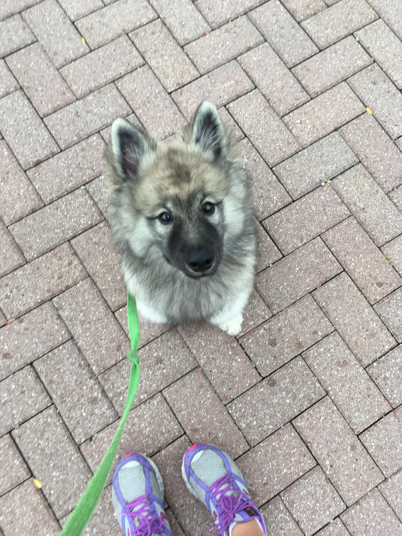 Wallas the Keeshond puppy