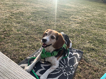 Beagle laying on a mat in the sun