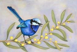 Blue Wren on Wattle 1