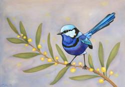 Blue Wren on Wattle 2