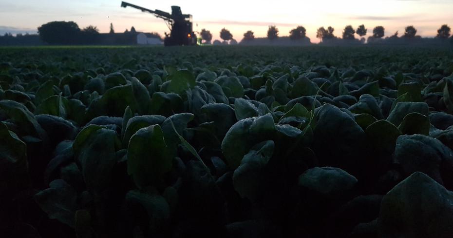 Spinaternte am frühen Morgen