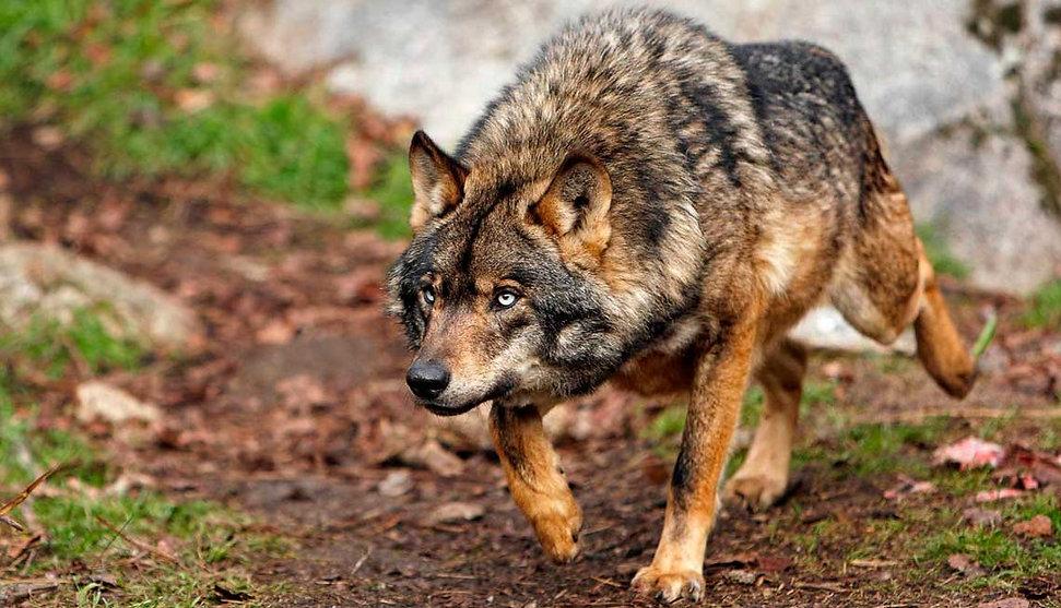 lobo iberico.jpg