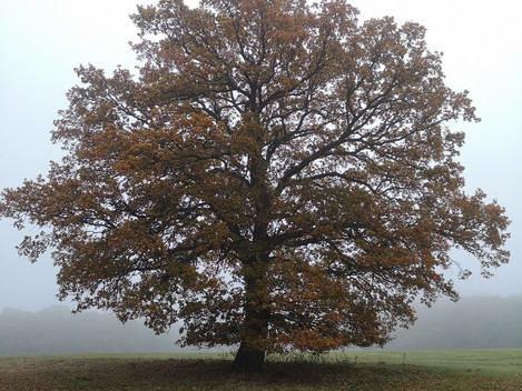 One tree One year – the Mighty Oak