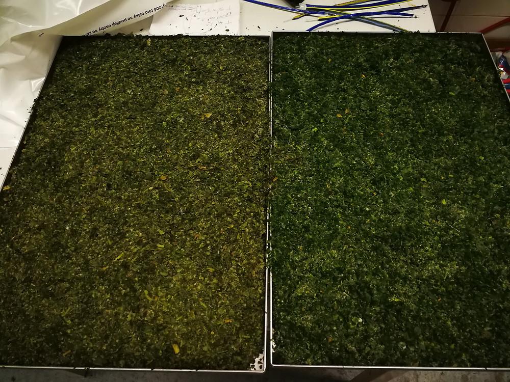 Bazalka (vlevo) a mix 8 bylinek (vpravo) před vkládáním do lyofilizátoru
