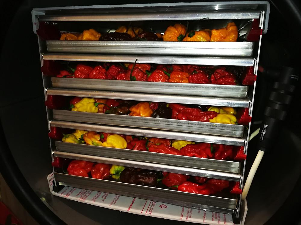 Lyofilizátor AMARU přeplněný chilli papričkami v celku