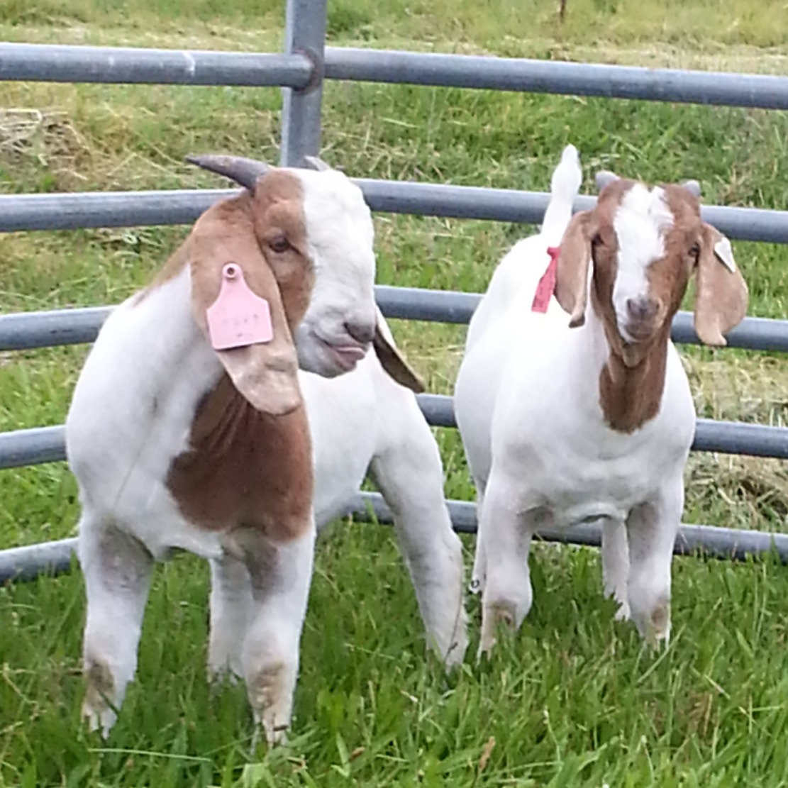 Goats for Sale (Does, Wethers, Bucks)