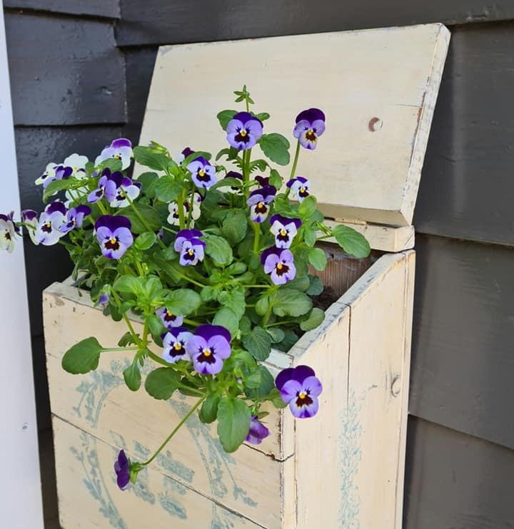 Pansies in wooden box