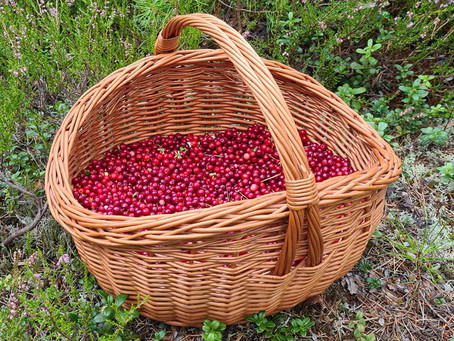 Bærtur, the Annual Nordic Berry Picking
