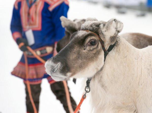 Sami reindeer