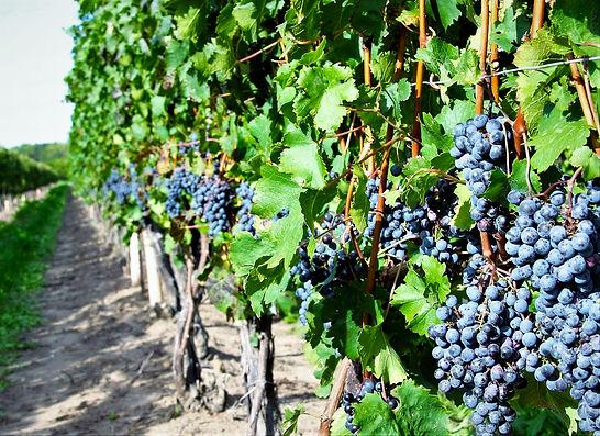 vineyard shots (9) copy.jpg