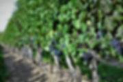 vineyard shots (8).JPG