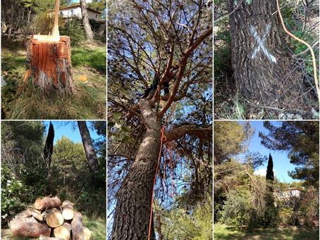 Abattage, démontage et élagage de 40 pins - prévention incendie et OLD à Lambesc