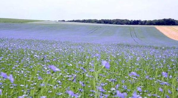 Linen Fields.JPG