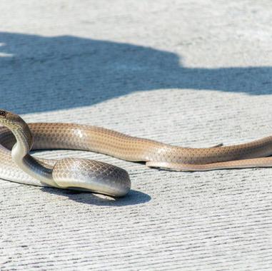 Serpiente lagartijera