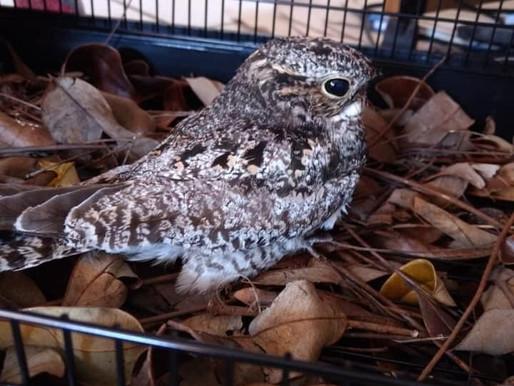 ¿Has visto a estas aves? !Se llaman Tapacaminos!🐣