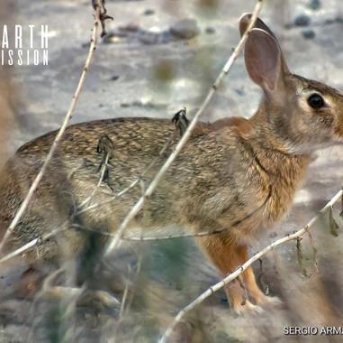 Conejo de cola blanca, Conejo serrano