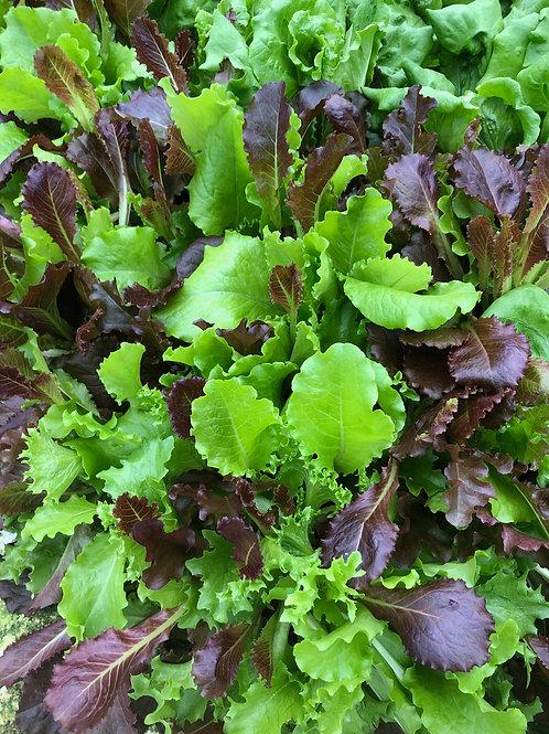 Living Spring Mix Lettuce