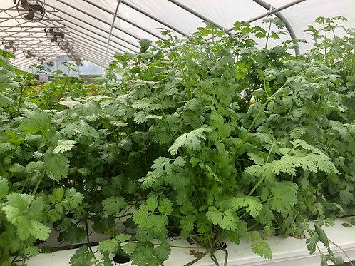 Living cilantro