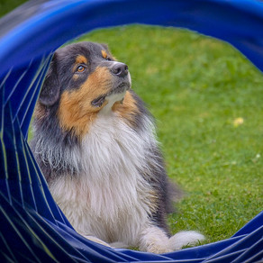 Australian Shepherd - calm and gentle