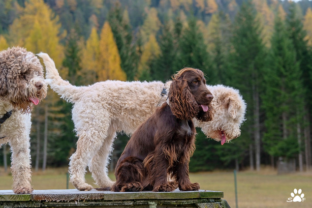 Cocker with Lagotto friends