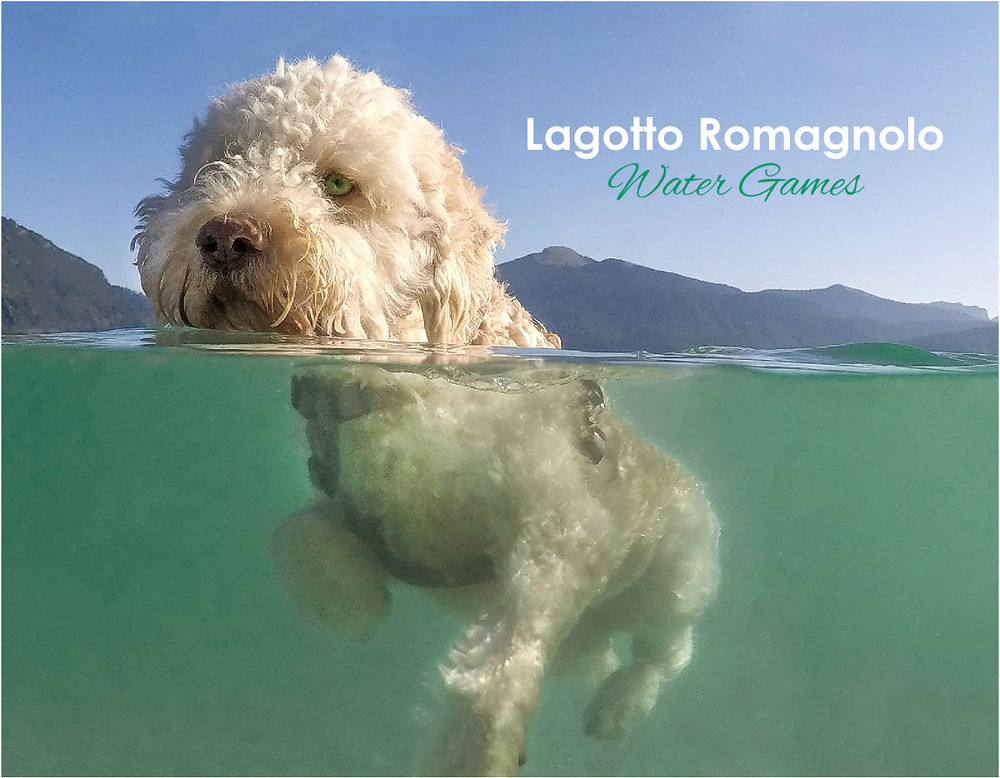 Includes our first half water pics. Lagotto fun and joy at its best.