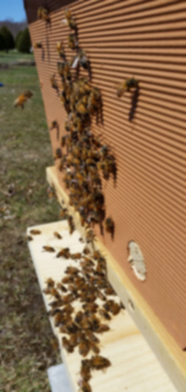 newly packaged bees in a topbar hive