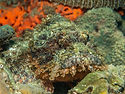 stonefish on the coral, Philippines.jpg