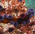 Purple and red sea urchins eat a piece o