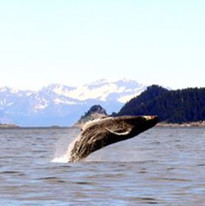 Breaching Whale Pup
