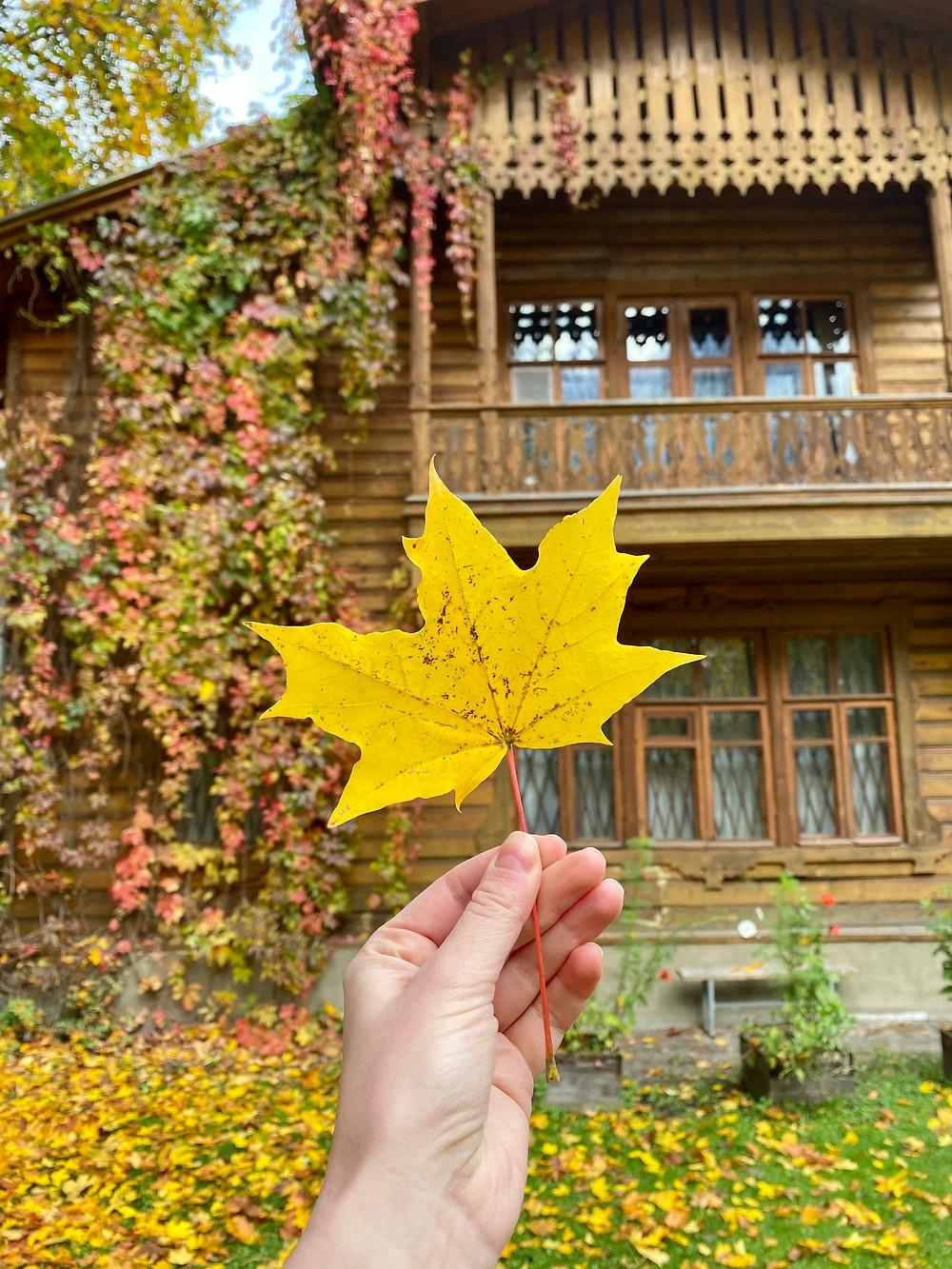 Bright yellow maple leaf