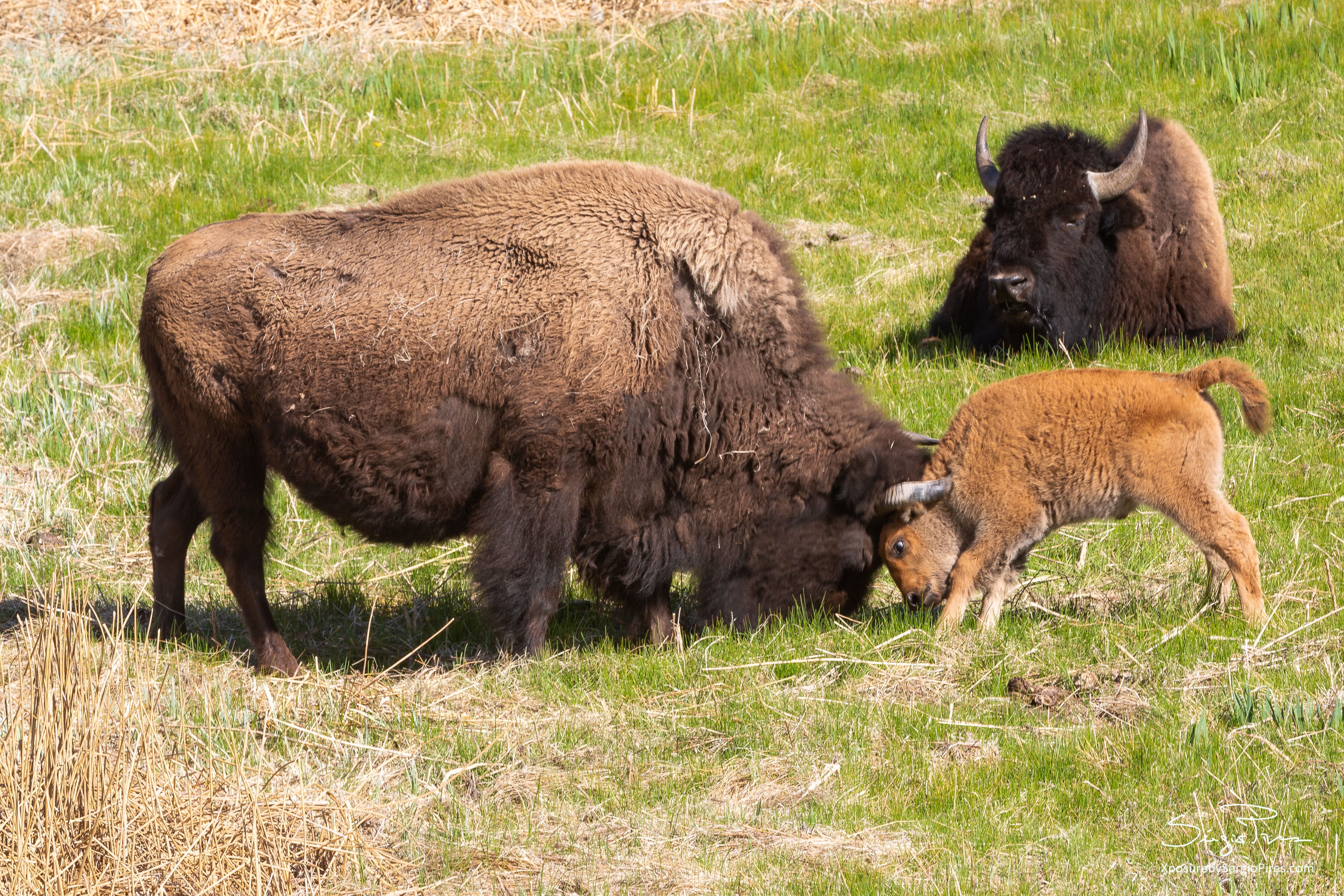 Mama Bison and cub playing