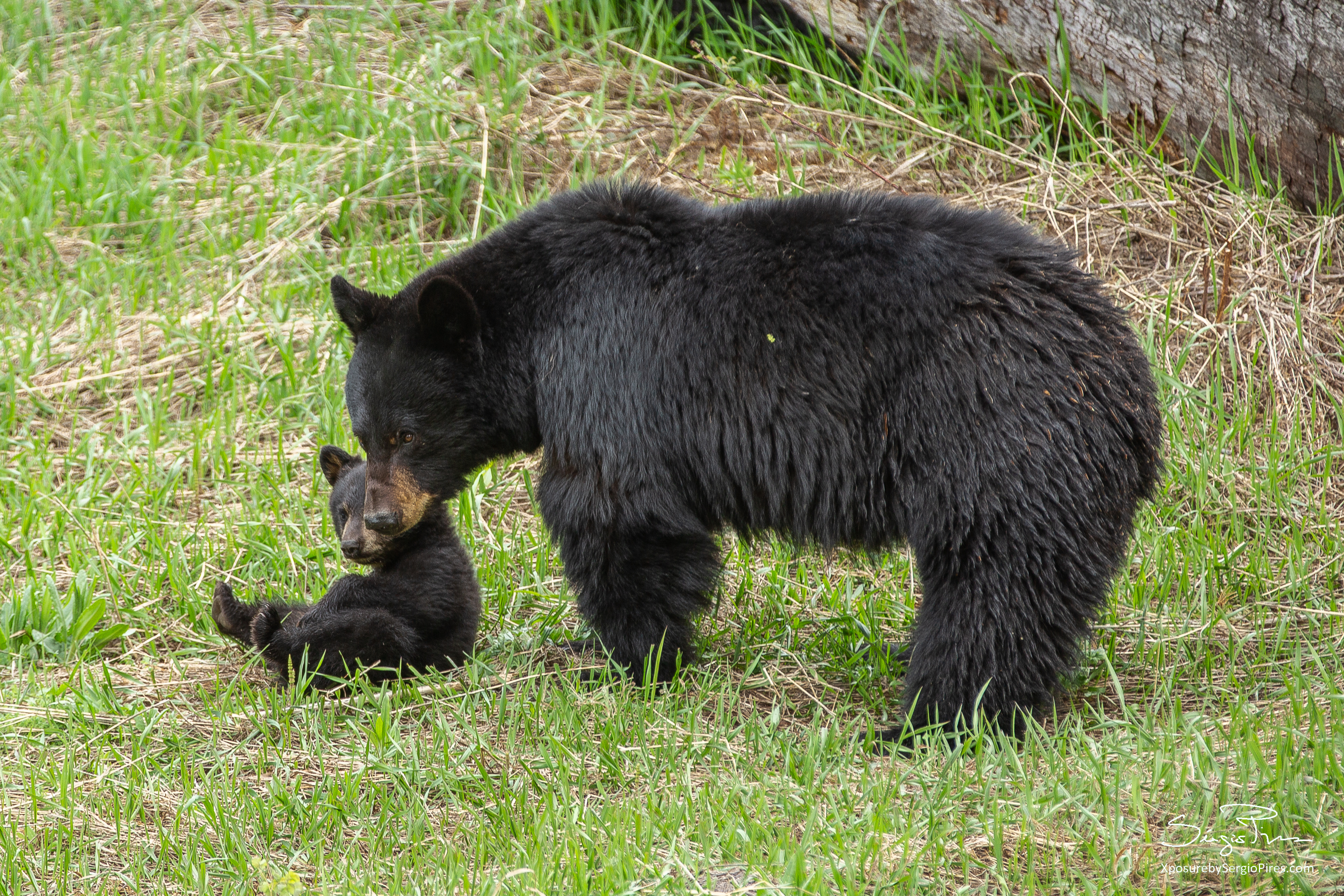Mama bear and cub playing
