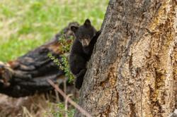 Black bear cub playing