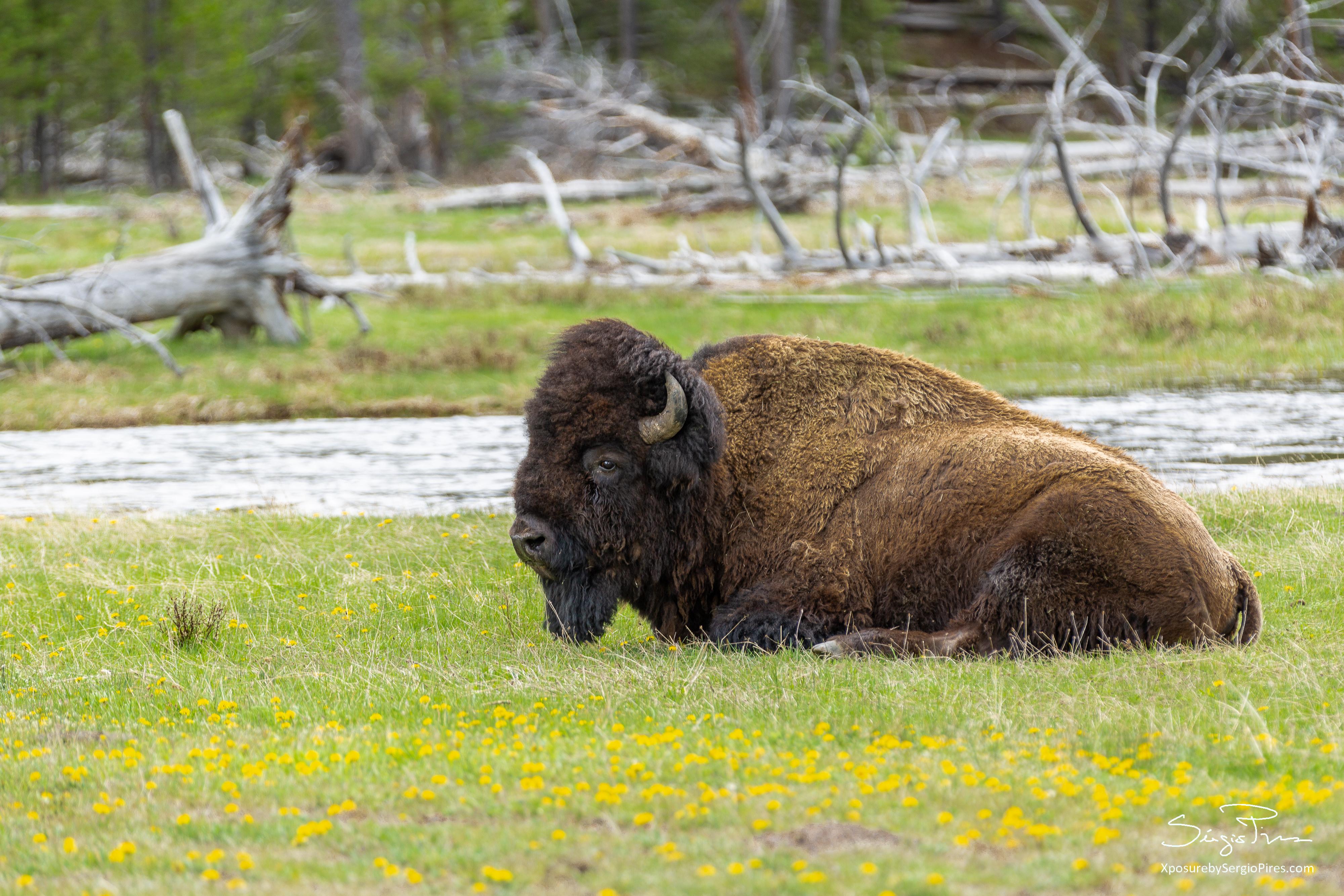 The American bison (Bison Bison)