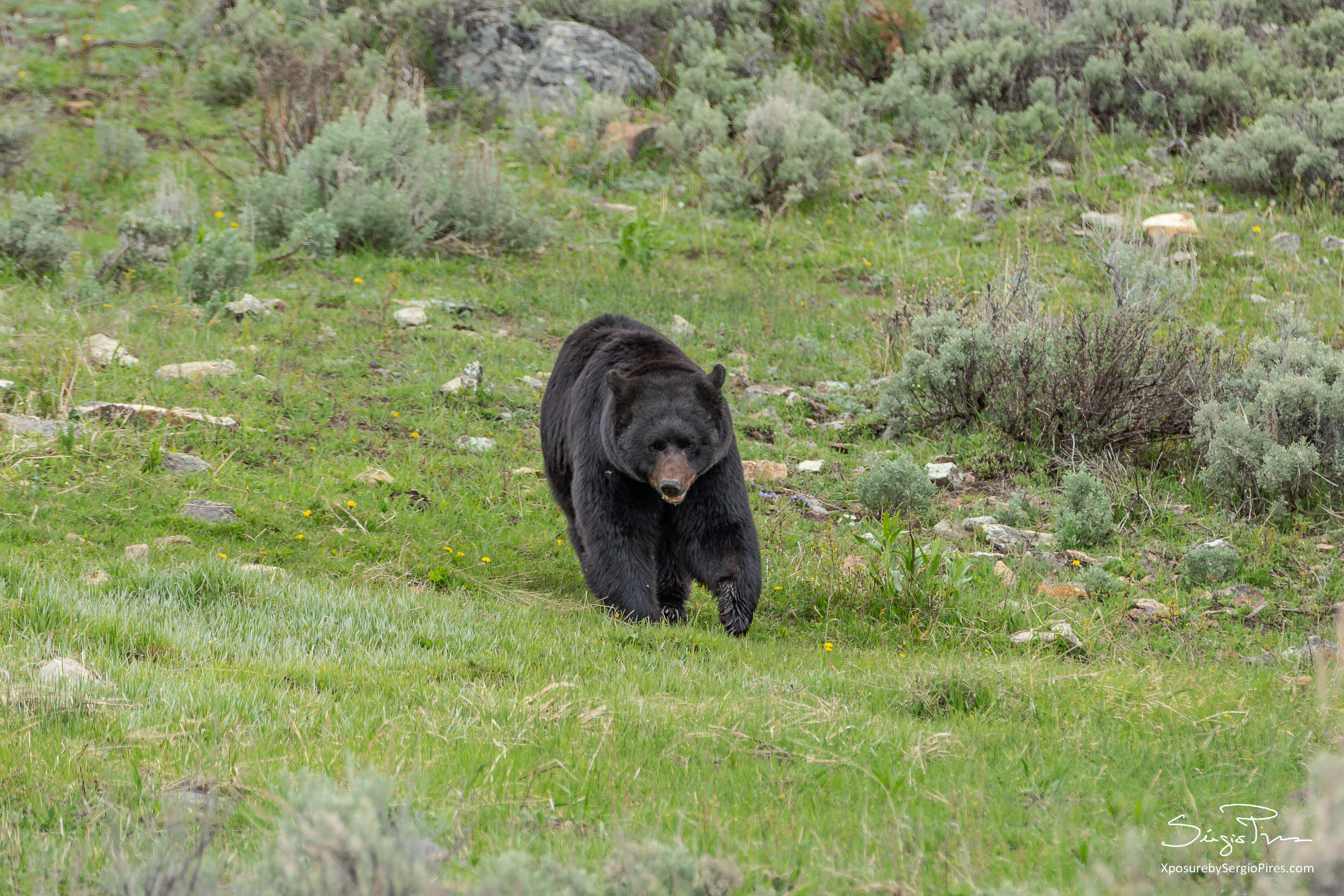 Male bear wandering in Lamar Valley