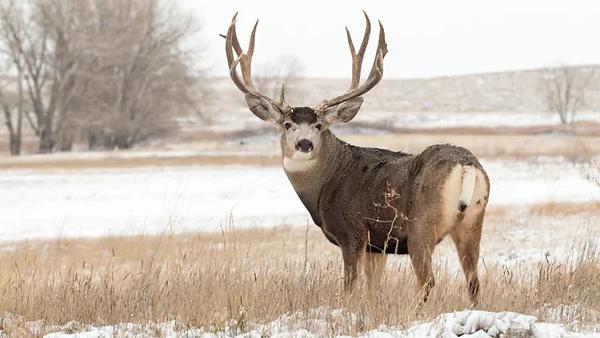mule-deer-stock-photo.webp