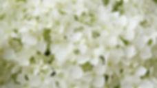 white-flowers-2465604_960_720.jpg