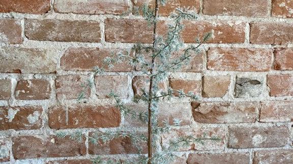 Cedar Tree- 2 Sizes Available