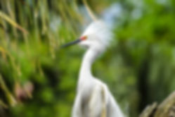 Snowy Egret in breeding plumage in front of palm trees