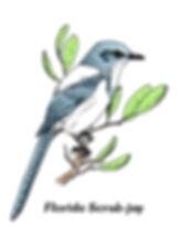 Florida Scrub-Jay sitting on a branch